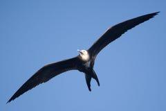 Женское пышное летание птицы фрегата надземное Стоковые Фото
