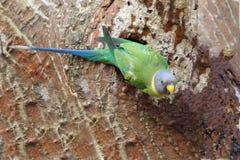 Женское слив-головое cyanocephala ожерелового попугая длиннохвостого попугая Стоковая Фотография
