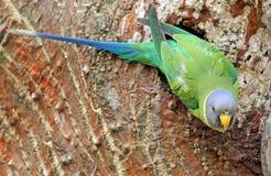Женское слив-головое cyanocephala ожерелового попугая длиннохвостого попугая Стоковое Изображение RF