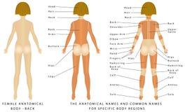 Женское тело - заднее Стоковая Фотография