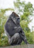 женское усаживание гориллы стоковые изображения rf