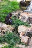 Женское усаживание сфинкса мандрилов mandrill стоковая фотография rf