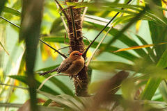 Женское фиолетовое ianthinogaster Granatina птицы grenadier Стоковое фото RF