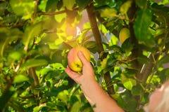 Женское яблоко рудоразборки руки Стоковые Фото