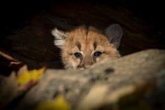 Женское concolor пумы котенка кугуара всматривается над утесами Стоковое Изображение RF
