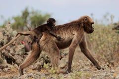 Женское gelada Theropithecus павиана gelada с младенцем Стоковое Изображение RF