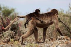 Женское gelada Theropithecus павиана gelada с младенцем Стоковое фото RF