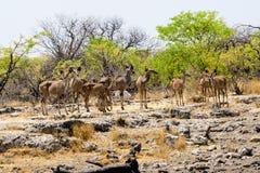 Женское Kudu в группе Стоковое Фото
