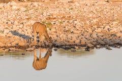 Женское Kudu самостоятельно на waterhole стоковая фотография rf