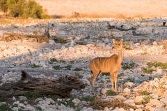 Женское Kudu самостоятельно на waterhole стоковые изображения