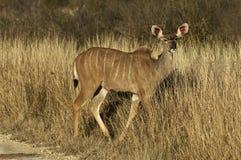 Женское kudu Стоковая Фотография RF