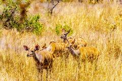 Женское Kudus в национальном парке Kruger в Южной Африке Стоковые Изображения RF