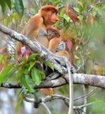 Женское larvatus Nasalis обезьяны хоботка подавая новичок на th Стоковые Фото
