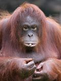 женское orang utan Стоковые Фото