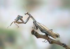 женское religiosa mantis стоковая фотография rf