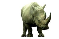 женское rino Стоковое Изображение RF