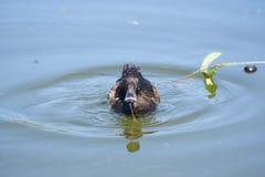 Женское Tufted заплывание утки на озере Стоковая Фотография