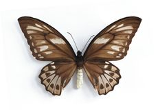 женское urvillianus priamus ornithoptera стоковое изображение