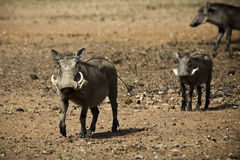 Женское Warthog с поросятами Стоковая Фотография RF