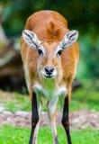 Женское waterbuck lechwe Стоковые Фотографии RF