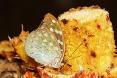 Женщина бабочки Aarchduke на плодоовощ Стоковое фото RF