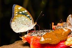 Женщина бабочки Aarchduke на плодоовощ Стоковые Изображения