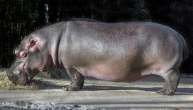 Женщина бегемота Стоковое Изображение RF