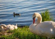 Женщина безмолвного лебедя наблюдает ее детенышами на озере в Германии стоковое изображение rf