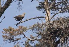 Женщина бел-замкнула гнездй орла около дерева сосенки на весенний день. Стоковая Фотография RF