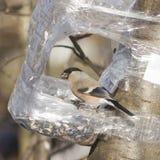 Женщина Брайна евроазиатского Bullfinch, pyrrhula Pyrrhula, портрета конца-вверх на фидере птицы от пластичной бутылки Стоковое фото RF