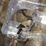 Женщина Брайна евроазиатского Bullfinch, pyrrhula Pyrrhula, портрета конца-вверх на фидере птицы с семенем в клюве Стоковая Фотография