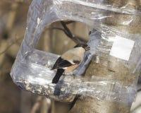 Женщина Брайна евроазиатского Bullfinch, pyrrhula Pyrrhula, портрета конца-вверх на фидере птицы с семенем в клюве Стоковые Изображения