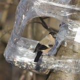 Женщина Брайна евроазиатского Bullfinch, pyrrhula Pyrrhula, портрета конца-вверх на фидере птицы с семенем в клюве Стоковое фото RF