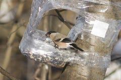Женщина Брайна евроазиатского Bullfinch, pyrrhula Pyrrhula, портрета конца-вверх на фидере птицы с семенем в клюве Стоковая Фотография RF