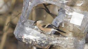 Женщина Брайна евроазиатского Bullfinch, pyrrhula Pyrrhula, портрета конца-вверх на фидере птицы с семенем в клюве Стоковые Фото