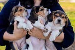 Женщина ветеринара держа 3 красивых pupies стоковые изображения rf