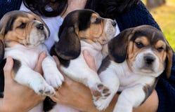 Женщина ветеринара держа 3 красивых pupies стоковые изображения