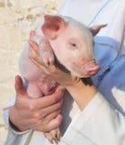 женщина вручает свинью Стоковые Фото
