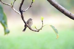 Женщина двух-collared seedeater садилась на насест на ветви дерева стоковое изображение rf