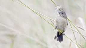 Женщина двух-collared seedeater садилась на насест на черенок травы Стоковое Фото