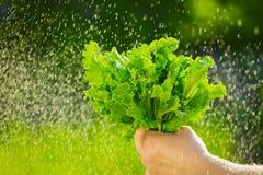 Женщина выбирая свежий салат от ее огорода Листья салата под дождевыми каплями Стоковое Изображение RF