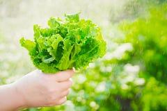Женщина выбирая свежий салат от ее огорода Листья салата под дождевыми каплями Стоковое Изображение