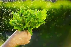 Женщина выбирая свежий салат от ее огорода Стоковые Фотографии RF