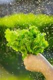 Женщина выбирая свежий салат от ее огорода Стоковое фото RF
