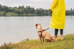 Женщина в желтых плаще и ботинках идет собака в дожде на urba стоковые фото