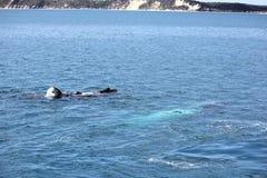 Женщина горбатого кита с заливом 2 Hervey икры Стоковое Изображение