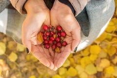 Женщина держа плоды шиповника закрывает вверх в осени стоковая фотография rf