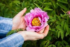 Женщина держа цветок пиона в руках стоковые изображения