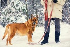 Женщина держит собаку в снежном лесе стоковая фотография rf