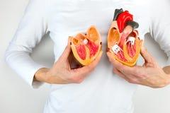 Женщина держит модельное сердце на белом теле стоковая фотография